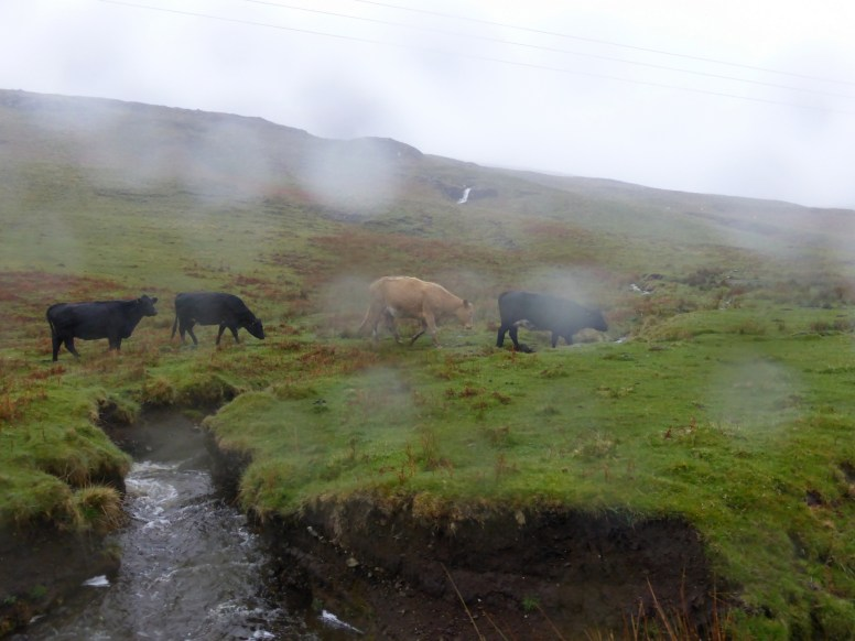 wet cows crossing stream