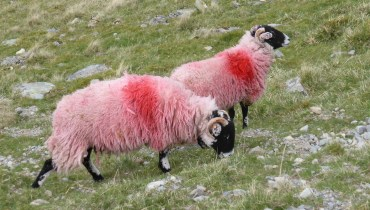 2 red sheep on green grassy hillside