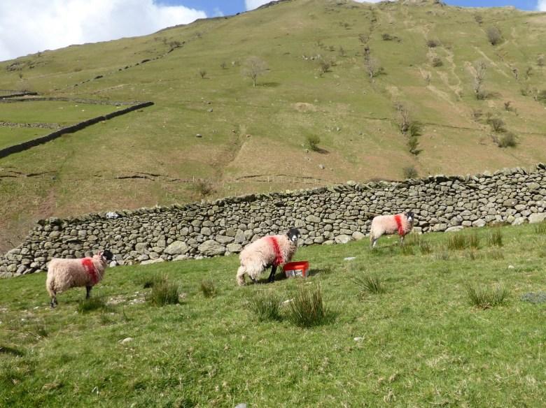 red sheep stare into camera