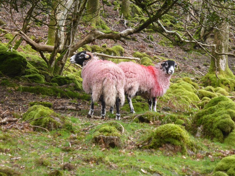 2 red sheep opposed in mossy woodland