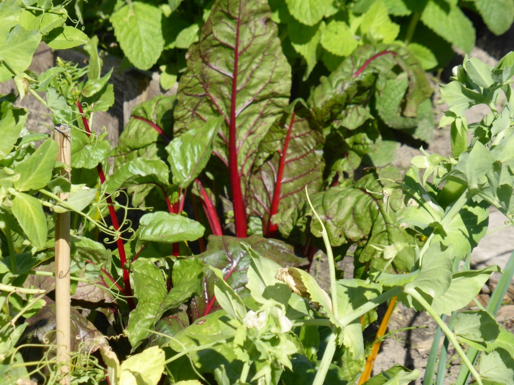 red chard and green peas