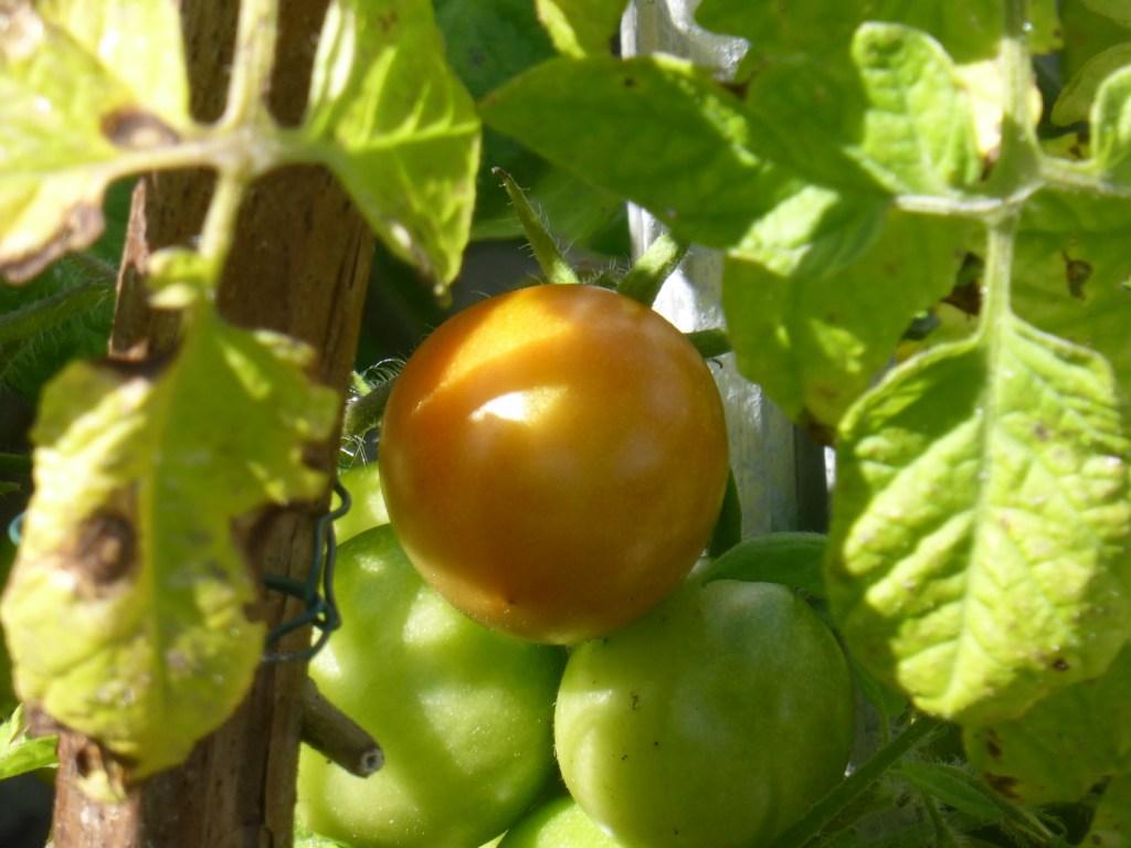 (just) ripening tomato