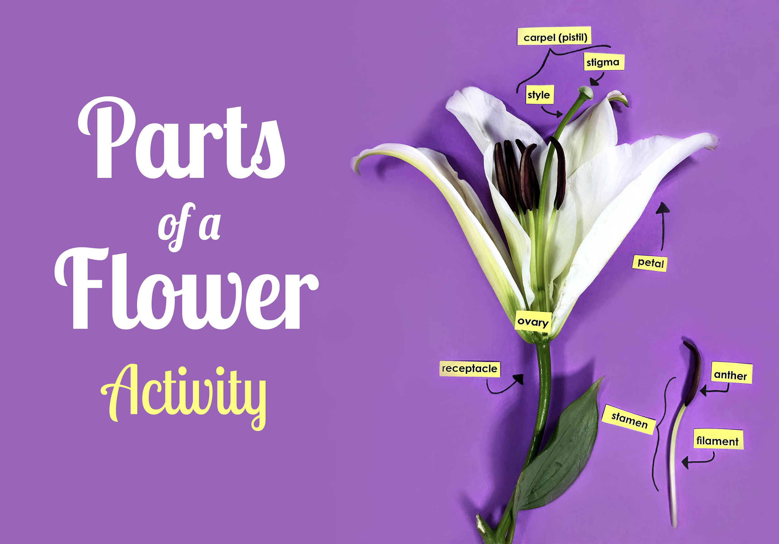 Parts Of A Flower Worksheet Preschool