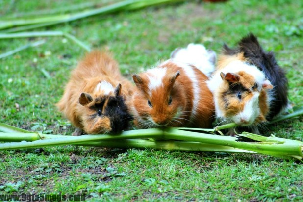What do I need to know about my guinea pigs' health?