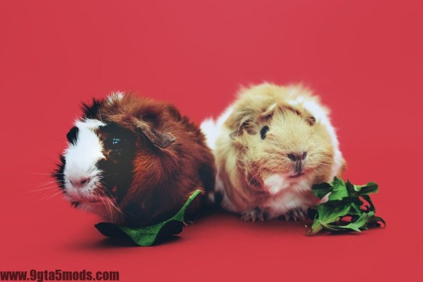 What should I feed my guinea pigs?