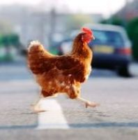 Chicken found trying to cross the road is taken into police custody (Photo)