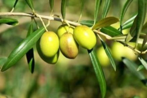 Olive Leaves Tea is also one of the home remedies for high blood pressure