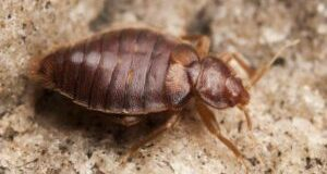 Bed Bugs Infestation: How to Prevent and Eliminate Bed Bugs