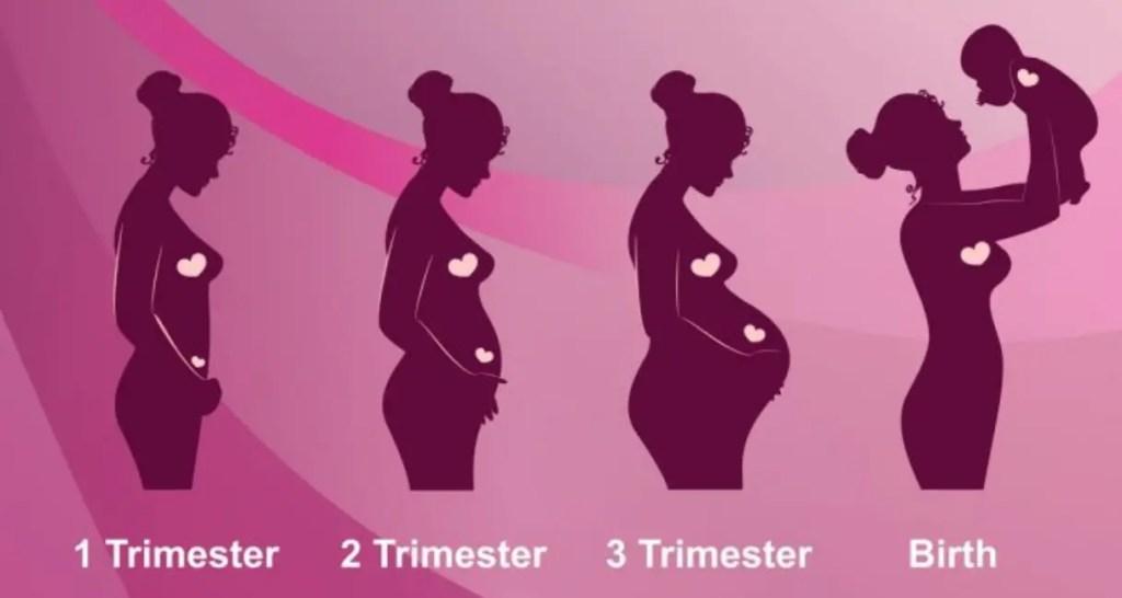 مراحل الحمل