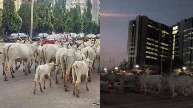 Herdsmen, cows take over CBN Headquarters in Abuja. - Report