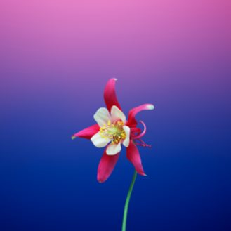 iOS_11_GM_Wallpaper_Flower_AQUILEGIA