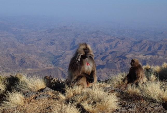 Gelada monkeys in the Simien Mountains
