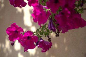 Flowers of Venice