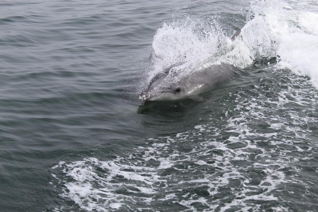 Dolphin Strand Feeding: Remarkable Behavior 2
