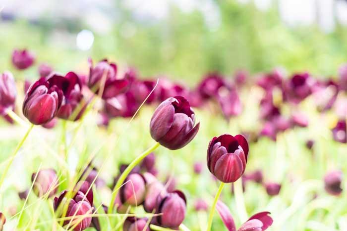 Фотографии с тюльпанной фермы в Районге