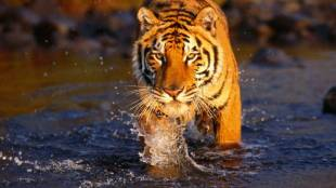 Bengal tiger crossing a creek