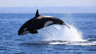 Killer whale leaping