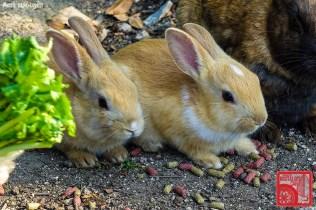 3106_Rabbit Island Japan