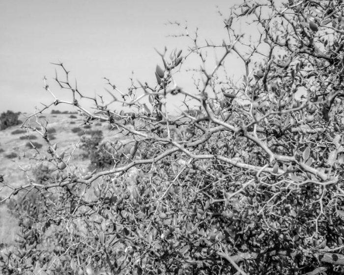 Thornbush on Golan Heights