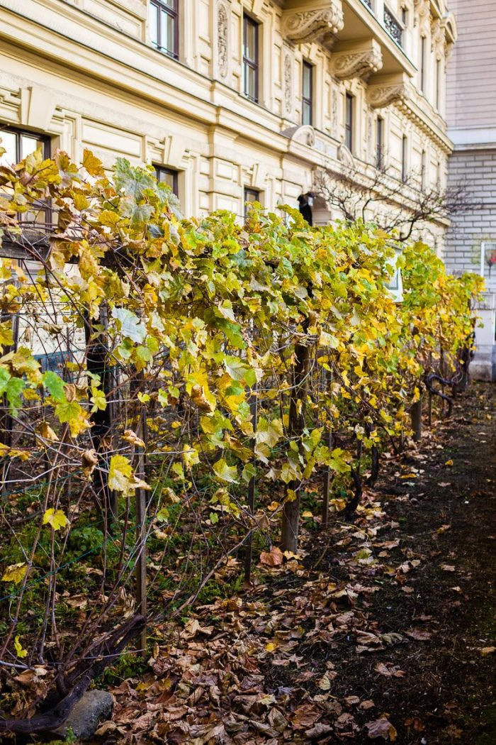 Vienna's smallest vineyard produces approximately 50 bottles of Viennese Gemischter Satz wine every year.