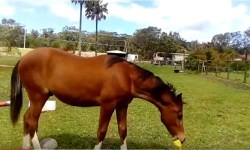 Horse with a Rubber Chicken image