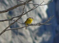 Nashville warbler on the Falls Trail