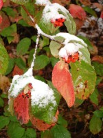 Snow on Dogwood Leaves