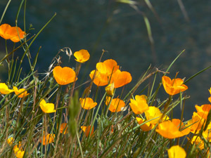 Previous year's poppies