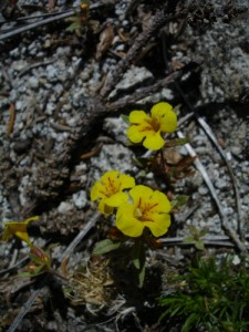 Skunky Monkeyflower - huge yellow patches of these flowers on Horizon Ridge