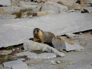 Curious Marmot who checked us out during breakfast, and left to have some breakfast of his own.