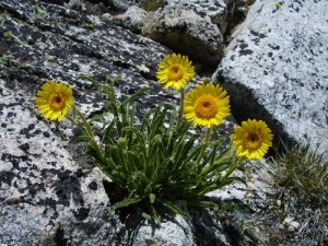 Alpine Gold wildflowers on Sheep Peak
