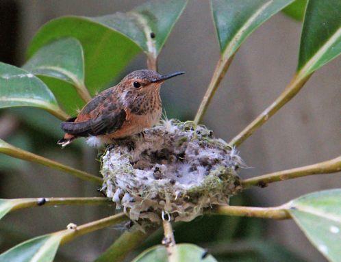 первый птенец колибри вылетел из гнезда mamaclub.ru