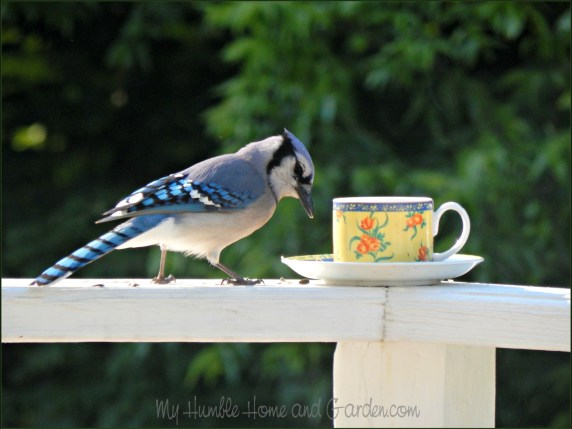 Backyard Bird Feeder - Make Your Own Teacup Bird Feeder - Blue Jay on MyHumbleHomeandGarden.com