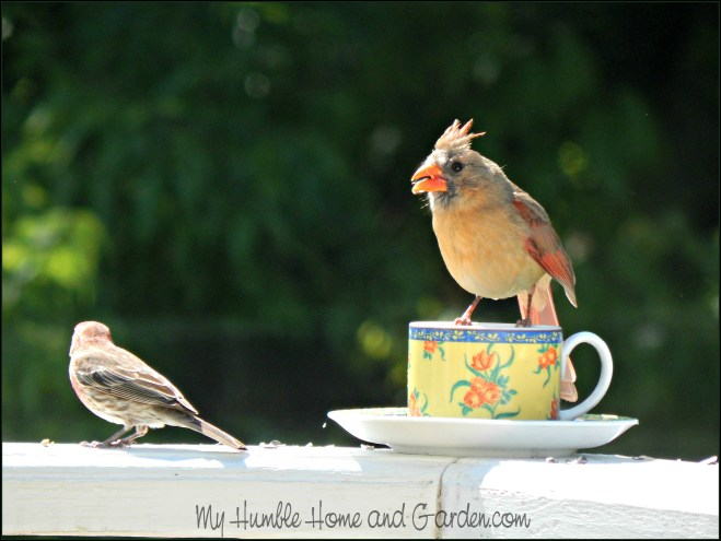 Backyard Bird Feeder - Make Your Own Teacup Bird Feeder - purple finch and female cardinal  on MyHumblehomeandGarden.com