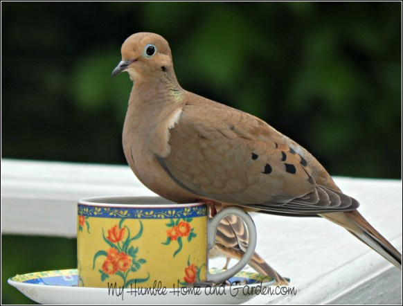 Backyard Bird Feeder - Make Your Own Teacup Bird Feeder - Mourning Dove on MyHumbleHomeandGarden.com