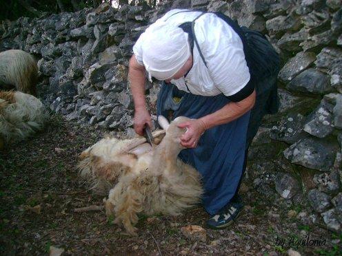 obrada vune šišanje ovaca
