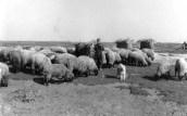 čuvanje ovaca
