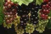 Ljekovita svojstva grožđa i najzastupljenije sorte