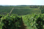 Vinski svetci i njihova uloga u vinarstvu i vinogradarstvu