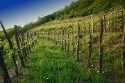 Povijest i razvoj vinogradarstva i vinarstva u Bosni i Hercegovini