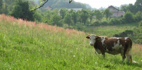 krava i vile u pripovijetki