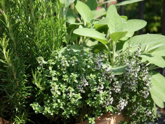 branje začinskog bilja u vrtu