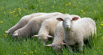 uzgoj ovaca i prerada vune