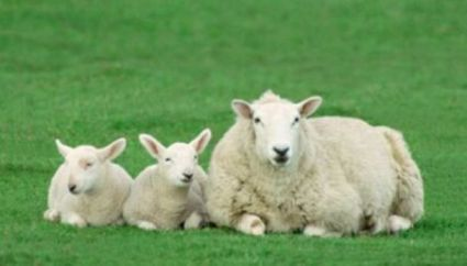 Portrait of a family of sheep Ovis aries image100spirit