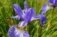 Sastav i ljekovitost perinuke, ljekovita svojstva irisa