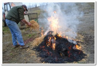 Paljenje dlake slavonske crne svinje