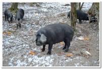 Požeška crna svinja u šumi