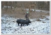 Požeške crne svinje