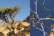 Ljekovita biljka starih egipćana, dragocijena ljekovita mira (mirha)