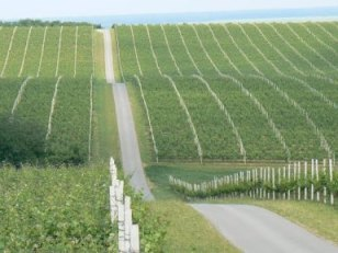Baranjski vinogradi